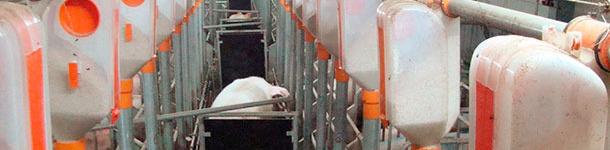 При осеменении используются 3-4 хряка. Начинается осеменение с одним хряком, и постепенно добавляются другие хряки по мере передвижения к следующим свиноматкам. Хряки стимулируют свиноматок в охоте примерно 3-5 минут до осеменения, во время осеменения и 20-30 мин после осеменения