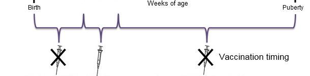 Оптимальное время для вакцинации поросят против ЦВС - 2.