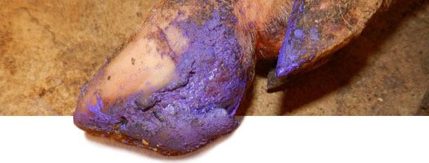 В отношении свиней с тяжёлыми поражениями был использован существенный уход за копытами, чтобы помочь восстановлению.