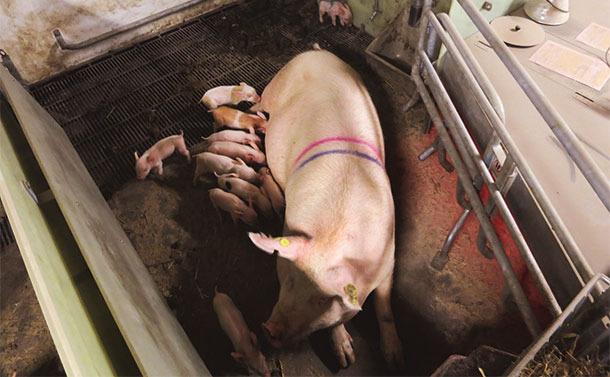 Система SWAP в период безстойлового содержания свиноматок. Предоставлено Кристианом Финком Хансеном