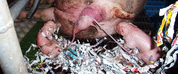Рожающая свиноматка