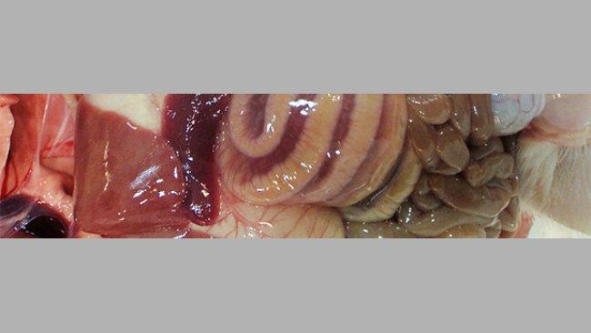 Отек средней части толстой кишки является классическим макроскопическим поражением, наблюдаемым при ИКД.