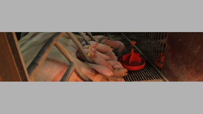 Свиноматка с поросятами
