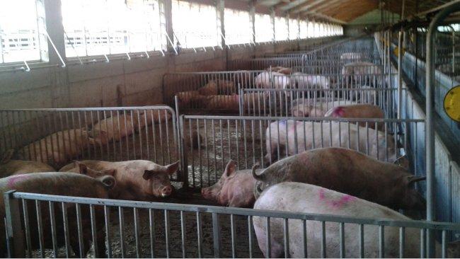 Беременные свиноматки в загонах