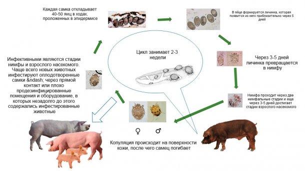 Рисунок 1. Биологический цикл Sarcoptes scabiei