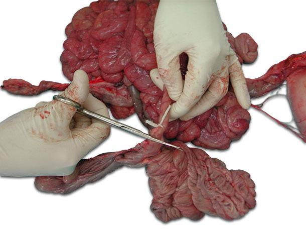 Завяжите концы кишечного отдела перед отрезанием