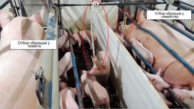 Рисунок 1. Отбор образцов у помета (используя для этого хлопковую веревку в отношении только поросят)и у семейства (используя для этого хлопковую веревку в отношении свиноматок и поросят).