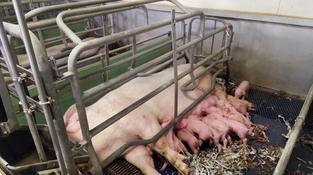 Figure 5. Adjustable rails are more comfortable for the sows because they offer a greater width for them to lie down and nurse their piglets. Despite this, proper adjustment is essential, so that they do not cover a complete row of teats.