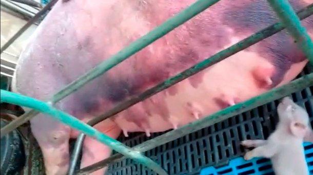 Фото 5. Кровоизлеяние у кормящих свиноматок.