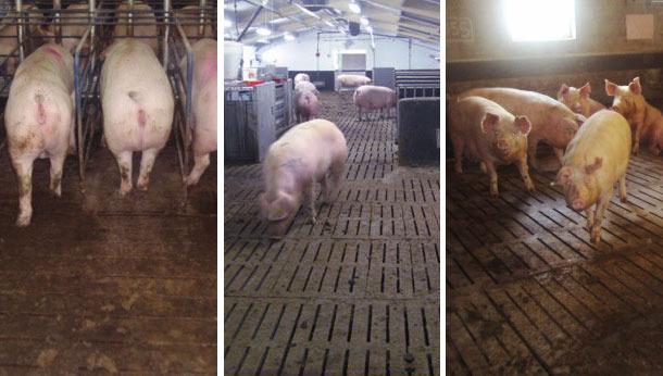 Различные виды содержания свиней