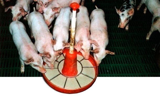 Использование каши или полужидкого корма способствует раннему приему пищи и адаптации к твердому корму