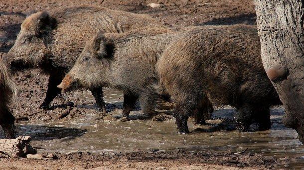 Дикие кабаны в месте для купания. Численность и распределение диких кабанов определяется доступностью воды и корма.