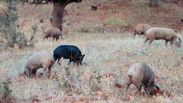 Контакт с дикими кабанами наиболее вероятен при выгульном содержании, однако, некоторые патогенны, например, вирусы болезни Ауески или классической чумы свиней способны добраться и до свиней, содержащихся внутри помещений.