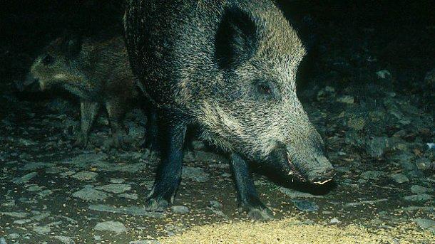 Подкармливание диких кабанов, как в целях ведения охоты, так и во избежание ущерба, требует обсуждения и регулирования.
