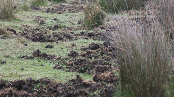 Фото 1. Разрытые корни говорят о наличии кабанов. Предпочтительно возводить новые фермы в стороне от поросших лесом участков и речных берегов, а также от полей под кукурузой и орошаемых угодий.