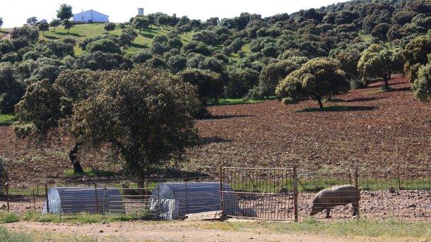 Фото 2. Свинья, которую содержат за высоким забором в лесистой местности. Вероятность контакта с дикими кабанами высокая.