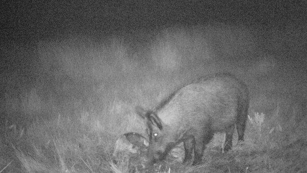 Фото 4. Фотоловушки позволяют выявить, что кабаны делают с тушами и отходами охоты. Важно не допускать того, чтобы отходы охоты были доступны для диких кабанов.