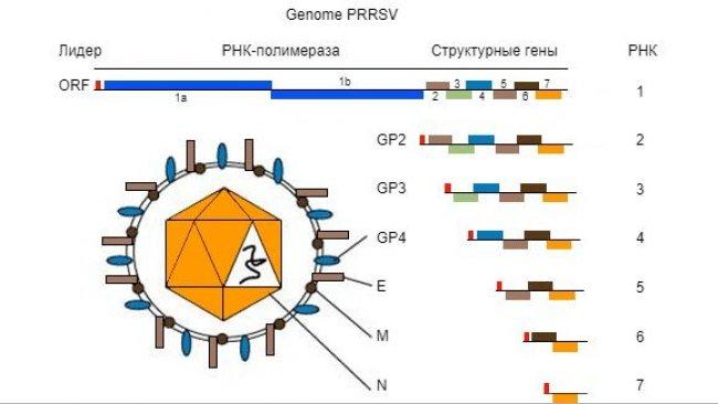 Рис. 1.Геном вируса РРСС - одноцепочная молекула РНА.