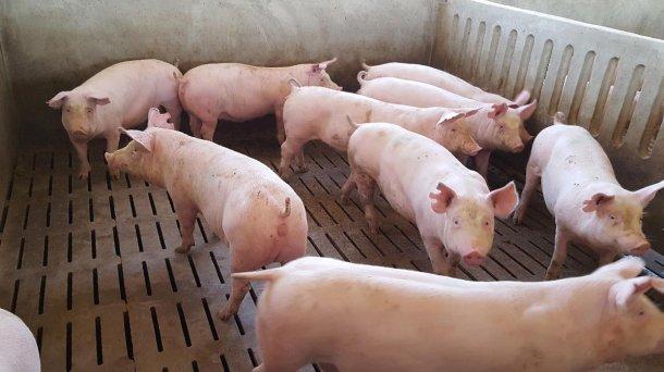 Фото 1. Возраст свинки при поступлении определяет длительность возможного периода акклиматизации. Хотя общим правилом является - чем дольше, тем лучше, наши эксперты утверждают, что 8 недель это необходимый минимум.