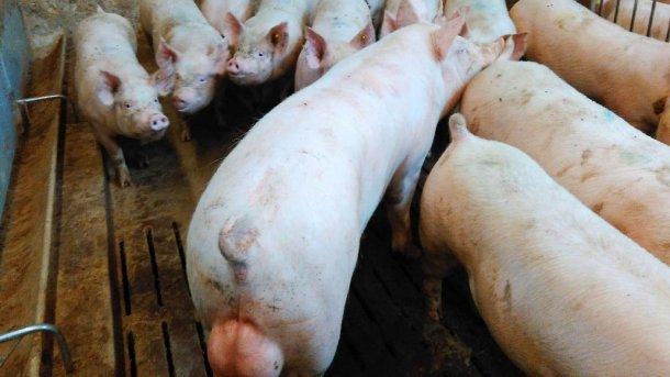 Фото 1. Контроль охоты во время периода акклиматизации - один из ключевых факторов управления. Это позволяет осеменить свинку во вторую или третью охоту. Это также позволяет узнать у каких свинок надлежащая цикличность.