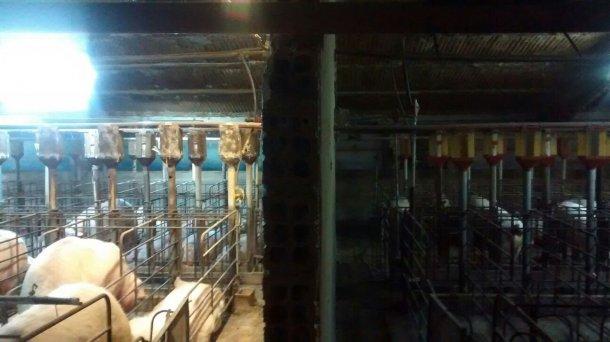 Фото 1. Разница освещенности секции супоросности до и после установки дополнительного осветительного оборудования.