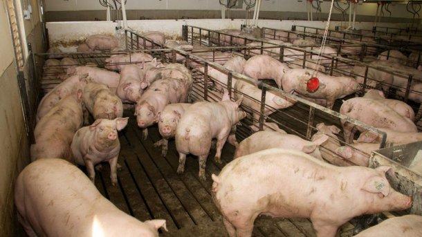 Фото1. Помещение для выращивания свинок на территории фермы. Фото доктора Марии Хосе Клавийо