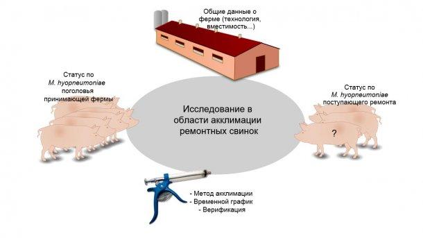 Рисунок 1. Информация об акклимации ремонтных свинок, собранная в процессе исследования.