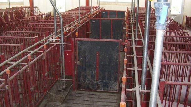Двери в проходах должны отгораживать каждые 5 станков, что даст возможность выявлять охоту и проводить осеменение групп из 10 свиноматок.