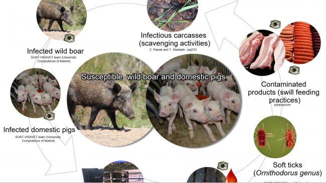Рисунок 1. Пути распространения вируса африканской чумы свиней, включая прямой и непрямой контакты с инфицированными животными, продуктами жизнедеятельности, секретами/экскретами и/или кровью, тушами, различными загрязненными фомитами и биологическими векторами (самостоятельная выработка).
