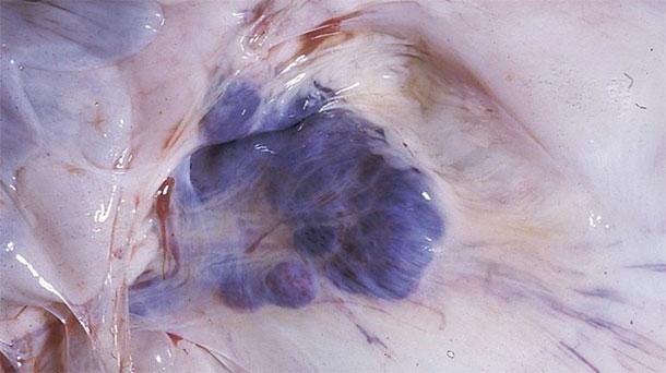 Фото 6. Результаты вскрытия пораженных свиней. Обратите внимание на геморрагии в мезентеральных лимфоузлах.