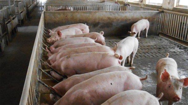 Фото 2. Типовой загон для размещения маточного поголовья и свиней на откорме на пораженной ферме.