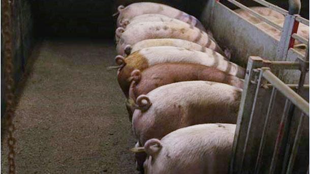 Фото 1. Некупированные свиньи. Фото любезно предоставлено Инге Бёхне
