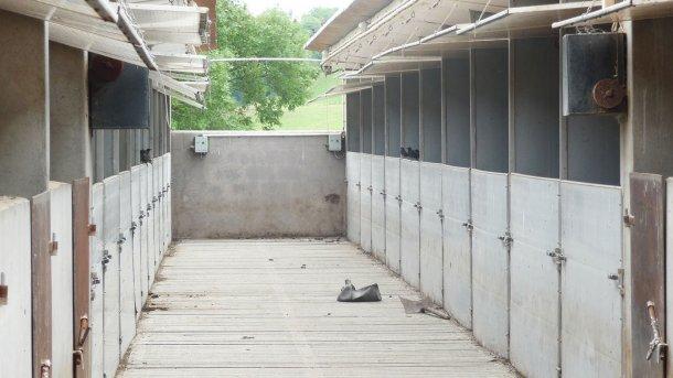 Фото 6. Скворцы в прямом контакте со свиньями на откорме, клюющие остатки корма в кормушке.