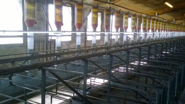 Фото 4. Установка флуоресцентных или LED ламп на уровне 1 м над свиноматками, обеспечивающая 150-200 люкс, используется все чаще – с тем, чтобы способствовать возобновлению эструса. Фото любезно предоставлено Gori Salamó.