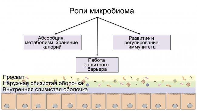 Роли микробиома: формирование защитного интестинального барьера; переваривание и метаболизирование нутриентов; регулирование иммунитета