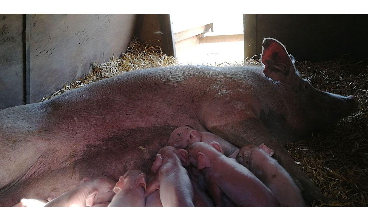 Свиноводческий блог: питание свиней свиноводство pig333.ru от