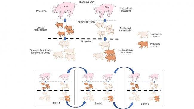 Рисунок 1. Распространение инфекции сильнее гасится у животных, обладающих более сильной защитой (поросята, родившиеся у свиноматок-многопоросок), чем у поросят от первопоросных свиноматок. На доращивании, у животных, заразившихся при наличии определенного уровня материнских антител, иммунитет не будет развиваться активно, поэтому вирус сможет привести к инфекции и вызвать рекуррентный грипп. Наконец, наличие, единовременно, различных групп животных разного возраста способствует распространению вируса между группами, продлевая тем самым присутствие инфекции.