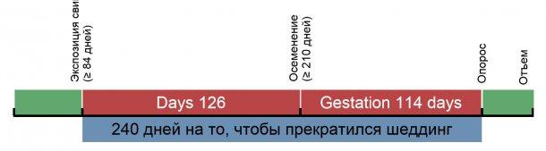 Рисунок 1. Временной график экспозиции ремонтных свинок