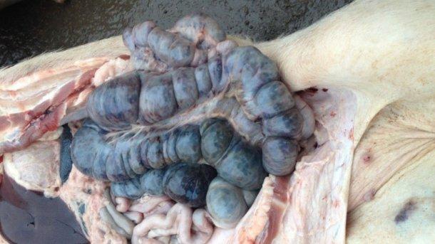 Фото инфицированной свиньи через 14 дней после выявления болезни. Кровоизлияния в толстом кишечнике.