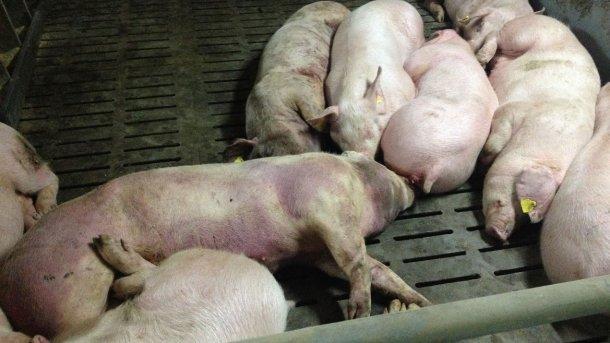 Фото инфицированной свиньи через 14 дней после выявления болезни. Обширные кровоизлияния по всей туше.
