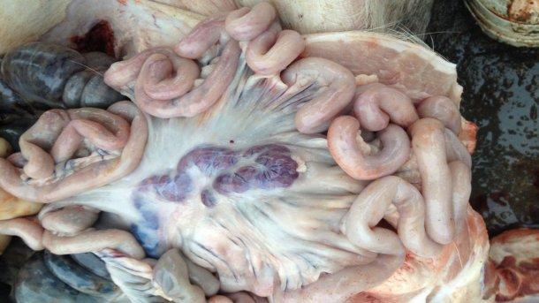 Фото инфицированной свиньи через 14 дней после выявления болезни. Увеличенные и геморрагичные лимфоузлы.