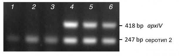 Рисунок 2. Сравнение полос амплификации при ПЦР (мПЦР1) пурифицированных колонии (1-3) и ДНК (4-6) для трех клинических изолятов серотипа-2