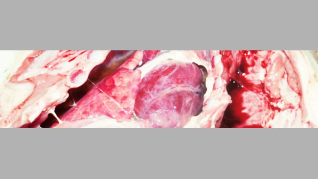 chronic fibrous pleurisy in a weaned pig