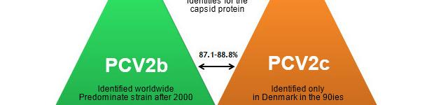 Основные генотипы ЦВС-2 и их соотношение на основе гена капсидного белка вируса