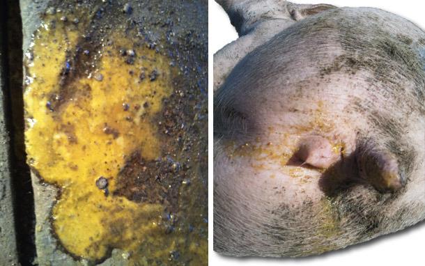 Понос желтоватого цвета с непереваренными остатками корма.
