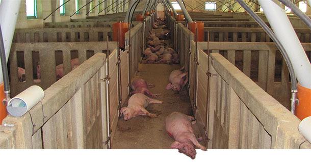 Мертвые свиньи на ферме
