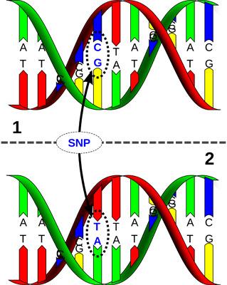 Геномика – связь SNP и продуктивности.