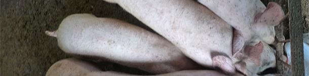 Наличие свиней с неоднородным весом на фермах, пострадавших от ЦВС-2 - СЗ и ЦВС-2 - СИ, не является отклонением от нормы.
