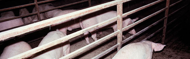 Классический пример свиньи с острой АПП в угнетённом состоянии, страдающей одышкой