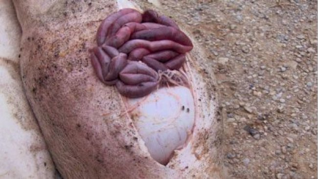 Вскрытие свиньи с острой язвой желудка